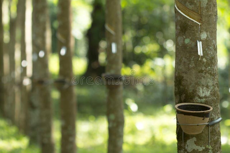 Latex extrait à partir de l'hévéa Brasiliensis d'arbre en caoutchouc comme source du caoutchouc naturel, le caoutchouc naturel images libres de droits