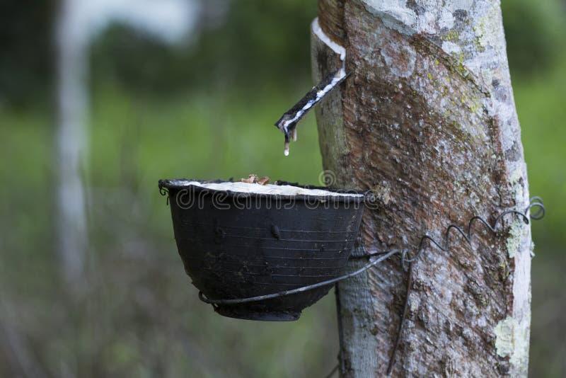 Latex extrait ? partir de l'h?v?a Brasiliensis d'arbre en caoutchouc comme source du caoutchouc naturel, le caoutchouc naturel de photo stock