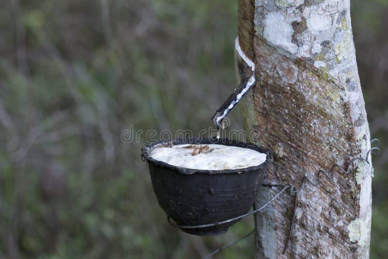 Latex extrait ? partir de l'h?v?a Brasiliensis d'arbre en caoutchouc comme source du caoutchouc naturel, le caoutchouc naturel de image stock