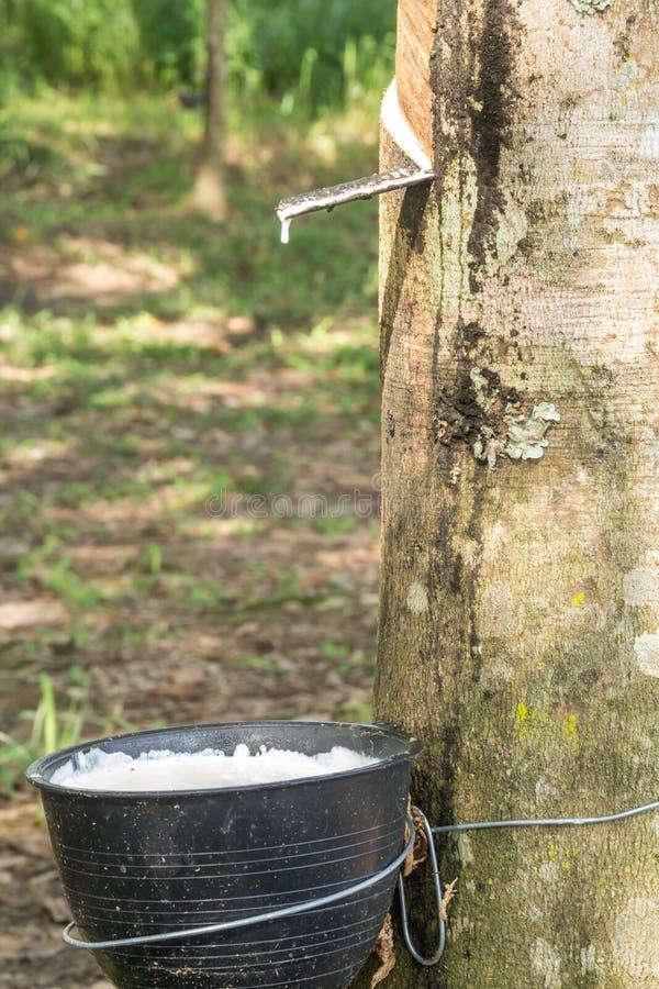 Latex laiteux extrait à partir de l'arbre en caoutchouc, Loei, Thaïlande image stock