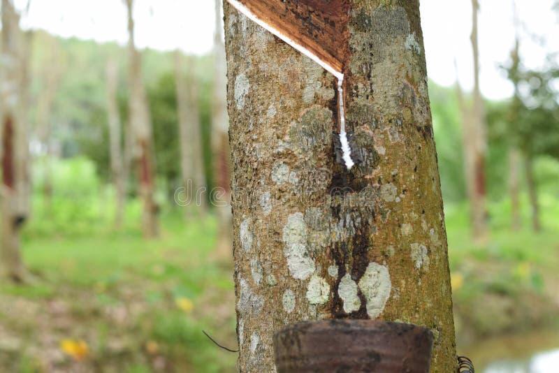 Latex laiteux extrait à partir de l'arbre en caoutchouc, source d'arbre de caoutchouc naturel dans l'emplacement de la Thaïlande images stock