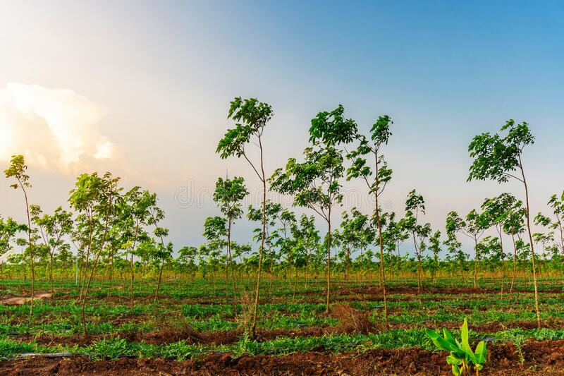 Latex rubber plantation or para rubber tree in southern Thailand stock photo