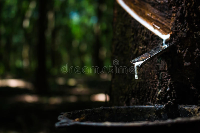 Latex von den Gummibäumen lizenzfreies stockbild
