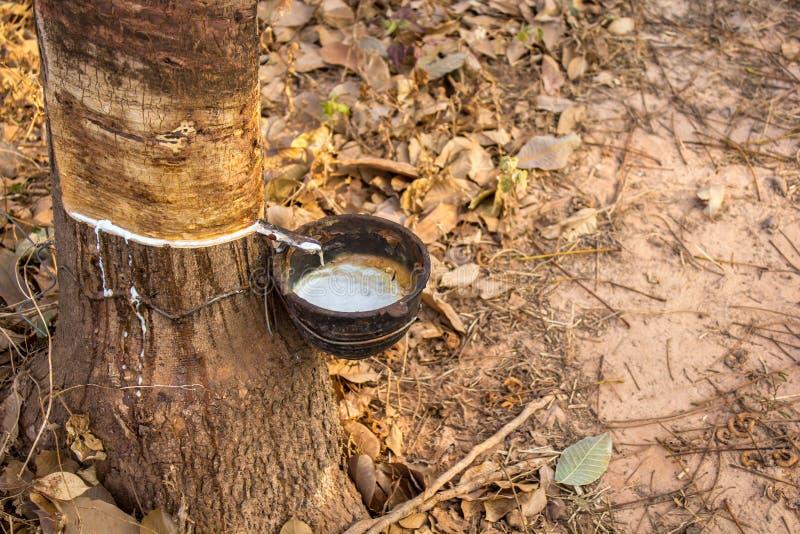 Download Latexgummiträd i skogen fotografering för bildbyråer. Bild av nytt - 37347619