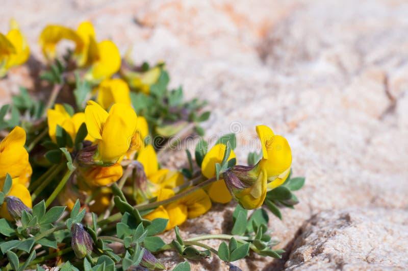 Lathyrus łąka na kamieniu lub pratensis fotografia royalty free