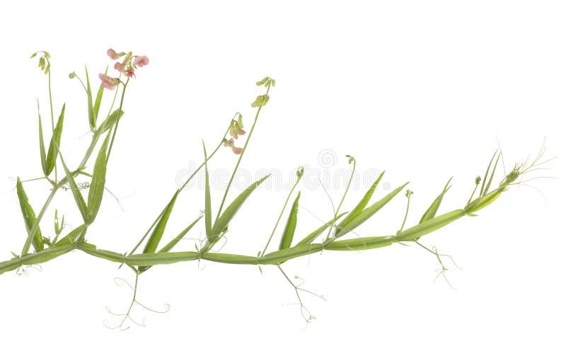 Download Lathyrus hirsutus stock image. Image of sprout, leaf - 31779473