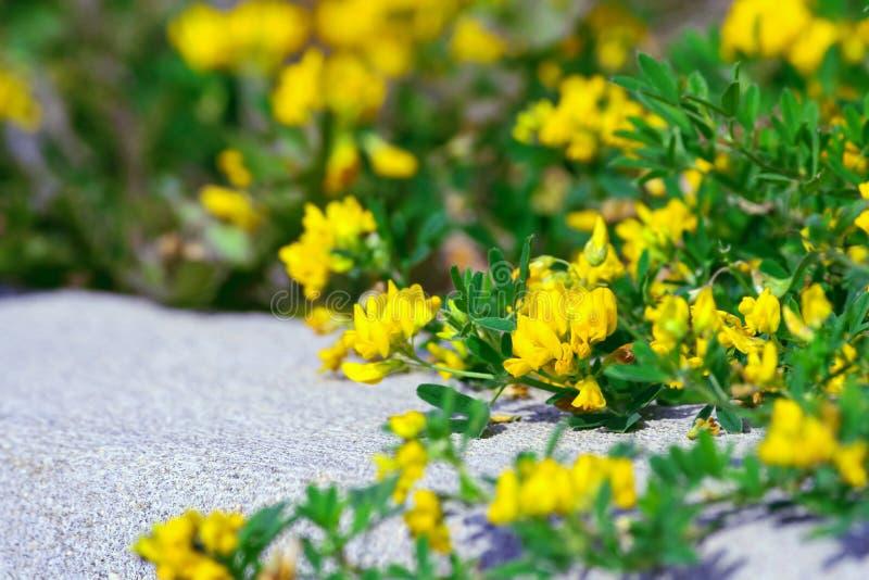 Lathyrus pratensis, łąkowa roślina jako lecznicza roślina zdjęcia stock