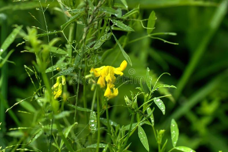 Lathyrus pratensis dziki kwiat obrazy stock