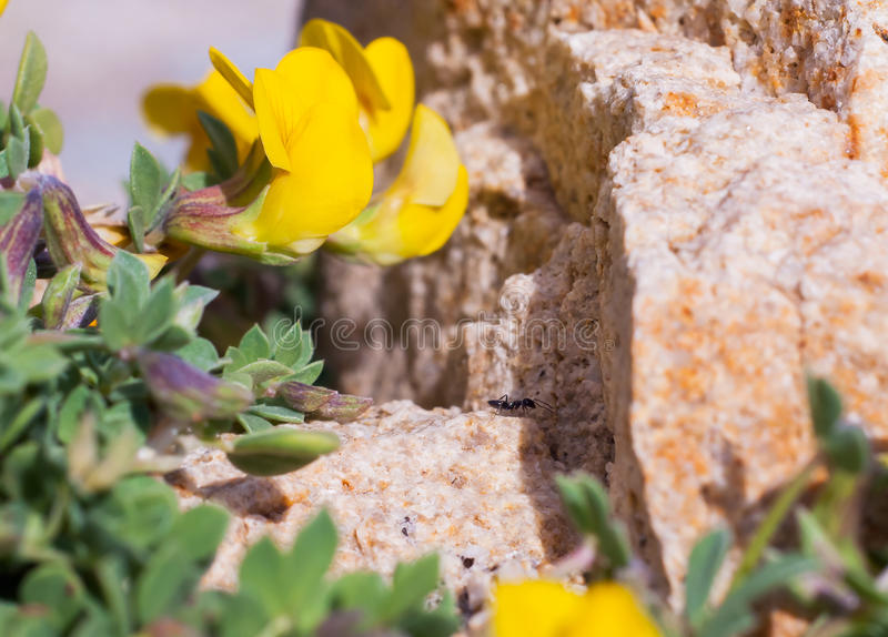 Lathyrus pratensis or meadow vetchling on stone... and ant. royalty free stock image