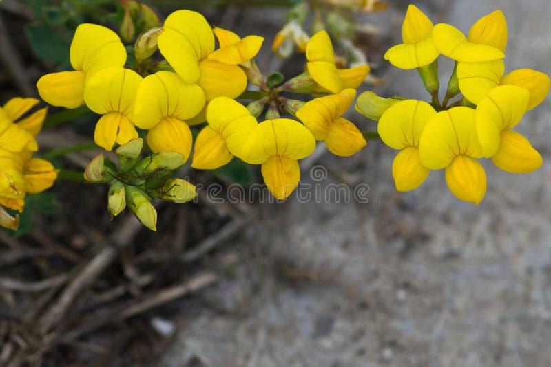Lathyruspratensis Gele bloemen stock foto