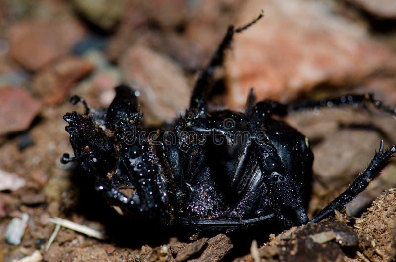 laticollis Scarabaeus жука навоза Земл-расточкой мертвые и предусматриванные падениями воды стоковая фотография rf