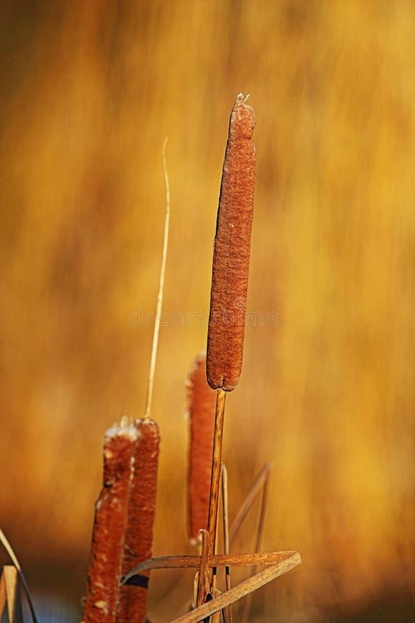 Latifolia/bulrush Typha стоковая фотография rf