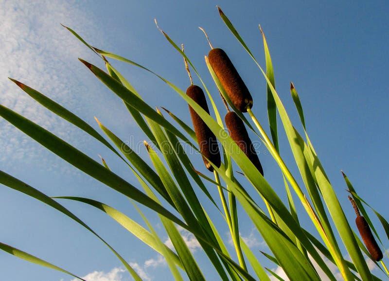 Latifolia commun de typha de jonc contre un ciel bleu photo stock