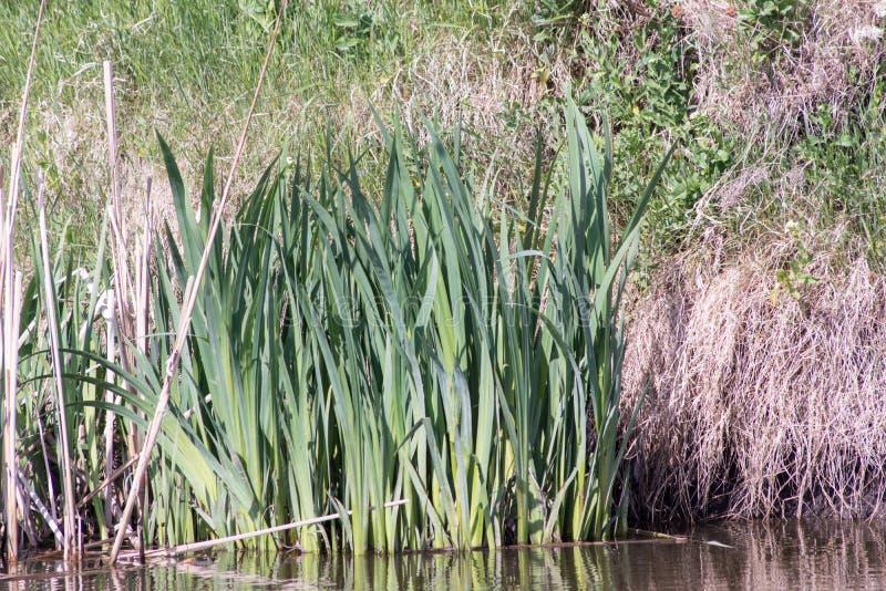 Latifolia della tifa del macis del Cattail immagine stock