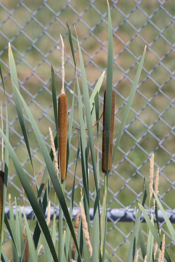 Latifolia do Typha do Cattail fotografia de stock