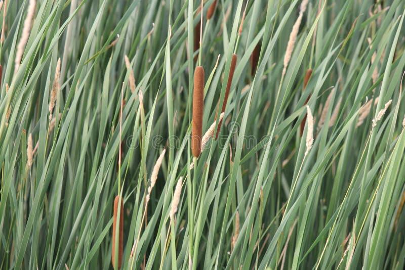 Latifolia do Typha dos Cattails no pântano imagem de stock