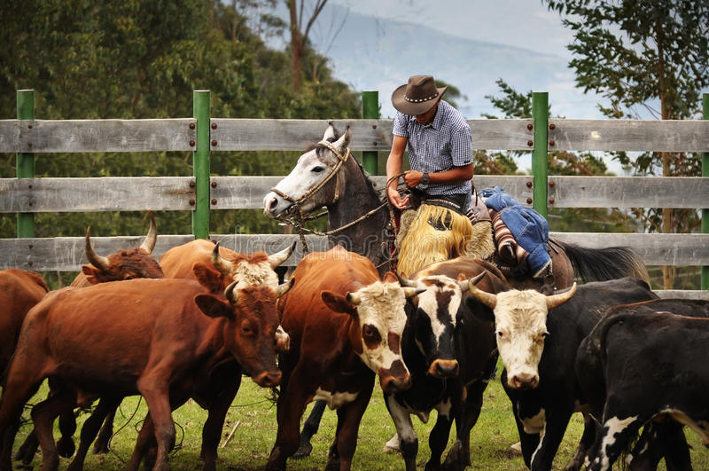 Latinocowboyarbeitsvieh lizenzfreies stockfoto