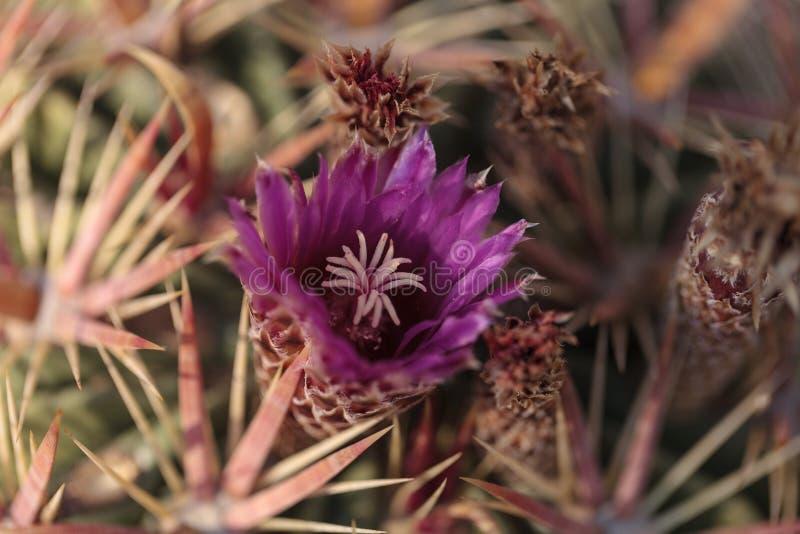 Latispinus Ferocactus зацветает розовые цветки стоковое фото rf