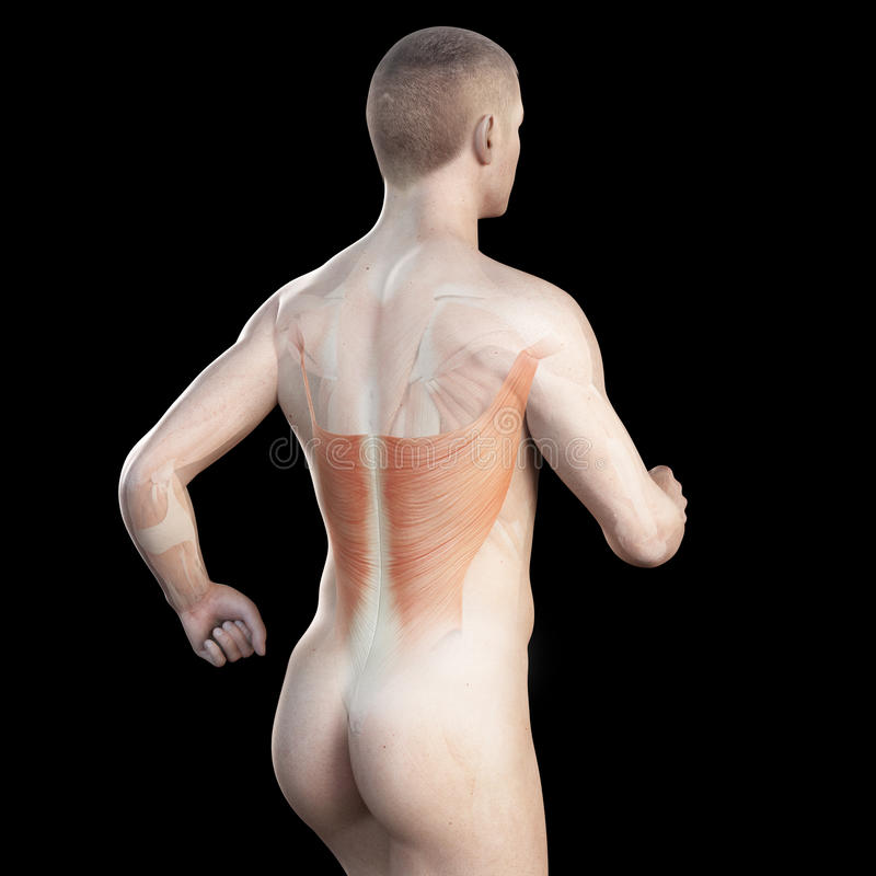 The latissimus of a jogger. Illustration showing the latissimus of a jogger royalty free illustration