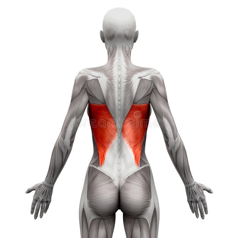 Latissimusdorsi - Anatomiespieren op wit worden geïsoleerd - 3D illust die royalty-vrije illustratie
