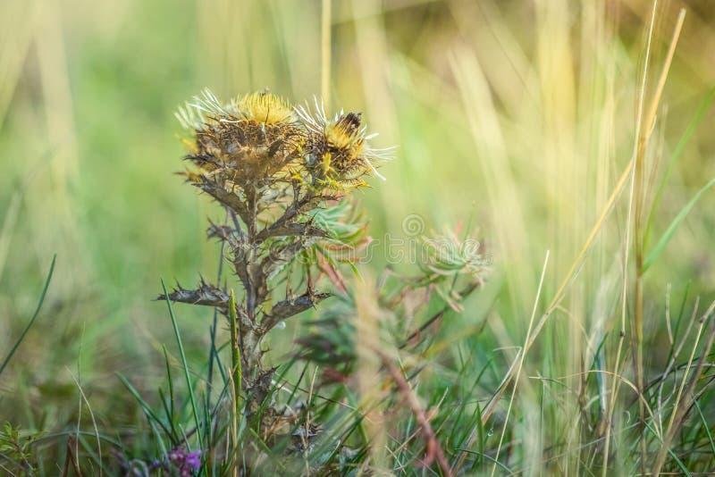 Lato łąka, zielonej trawy pole z dziewięćsiła osetu Carlina vulgaris wildflower w ciepłym świetle słonecznym zdjęcie stock