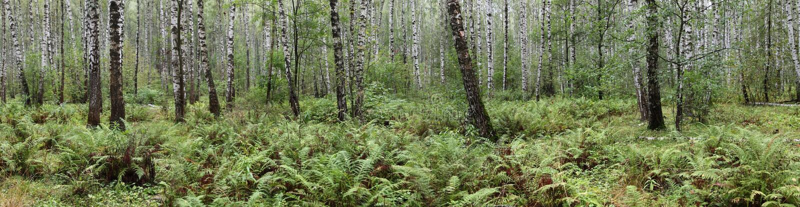 Lato brzozy las obraz royalty free