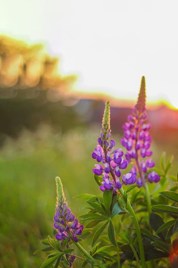 Lato ciepły wieczór, purpurowi łubiny przy zmierzchem w polu Jaskrawa lato fotografia obrazy stock