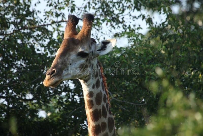 Lato della giraffa che osserva mentre mangiando fotografia stock libera da diritti