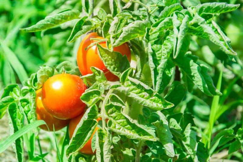 Lato dojrzali pomidory w Kamenskoe Ukraina zdjęcie royalty free