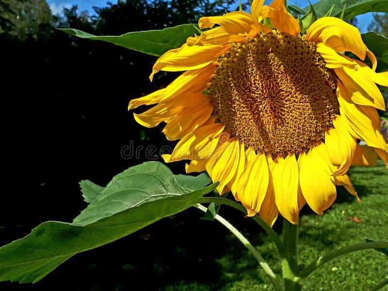 Lato klimaty z słonecznikiem obrazy stock