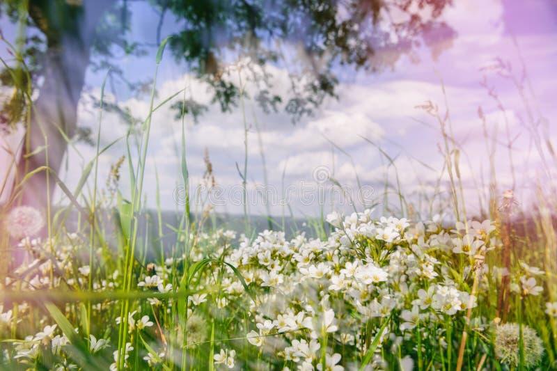 Lato krajobraz z dzikimi białymi kwiatami obrazy royalty free