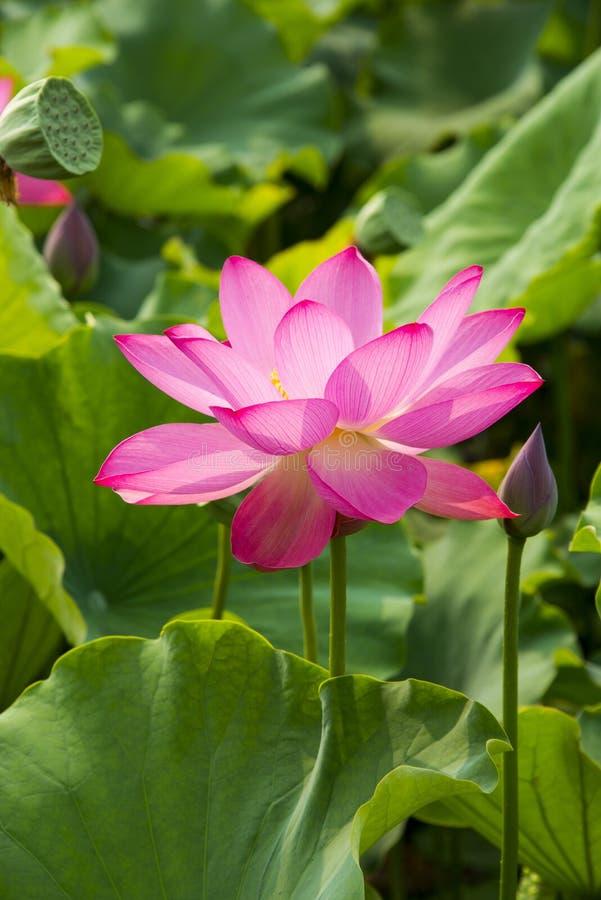 Lato kwiaty, lotosy, obraz royalty free