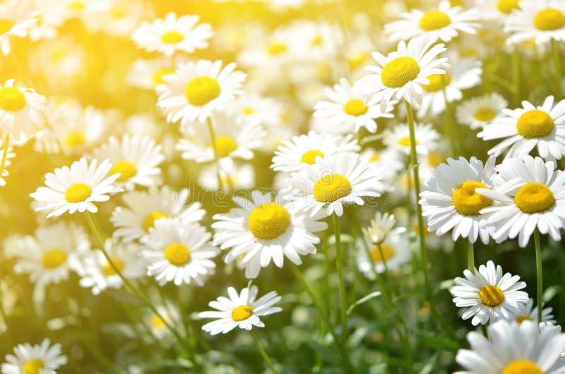 Lato kwitnie rumianków okwitnięcia na łące zdjęcia royalty free