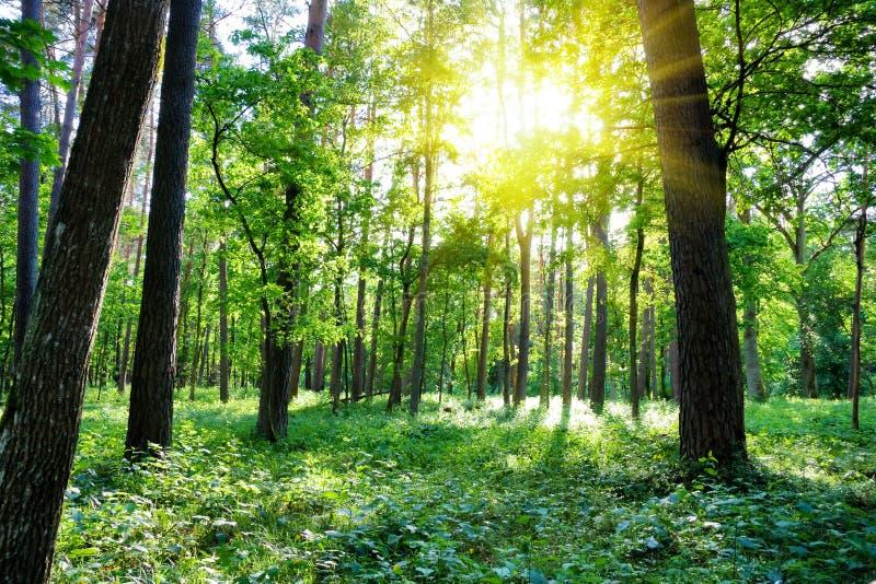 lato lasowy słońce zdjęcie royalty free
