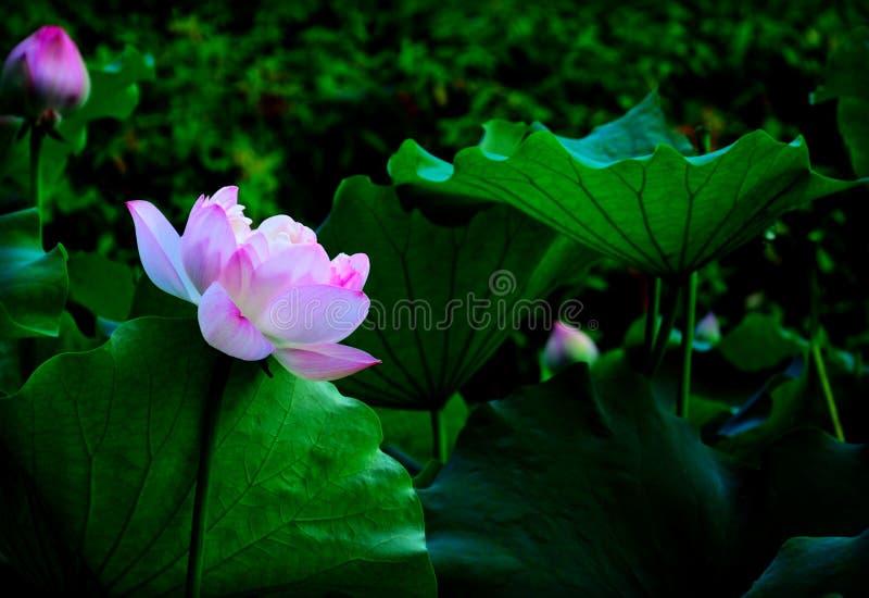 Lato lotos zdjęcia royalty free