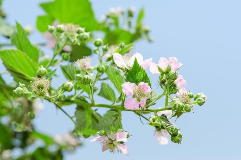 Lato malinowy kwitnie krzak z purpurowymi kwiatami fotografia stock