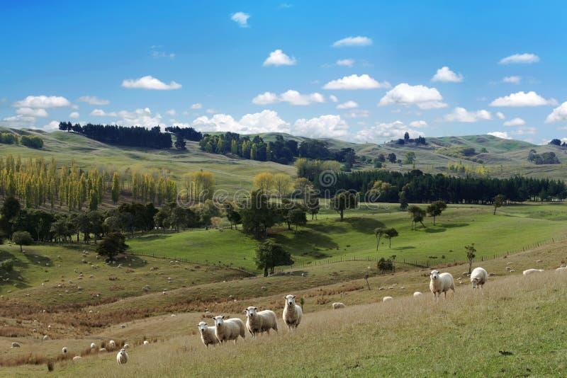 Lato malowniczy krajobraz z stadem cakle zdjęcie stock