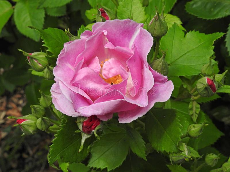 Lato menchie przerzedżą różanych kwiat głowy makro- płatki obraz stock