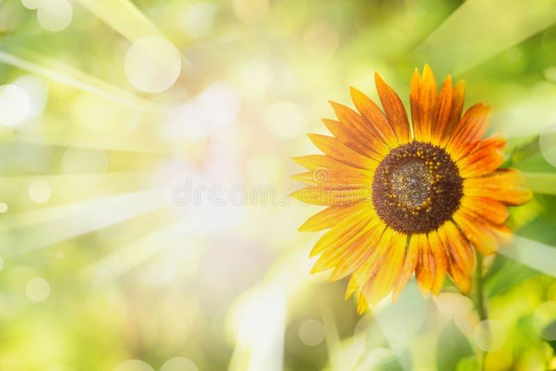 Lato natury tło z słonecznikiem, ulistnieniem, słońce promieniami i bokeh, fotografia royalty free