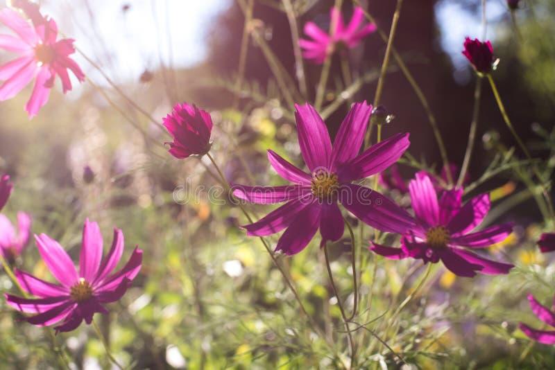 Lato opowieść z pięknymi menchiami kwitnie jak stokrotki r pod słońcem obraz royalty free