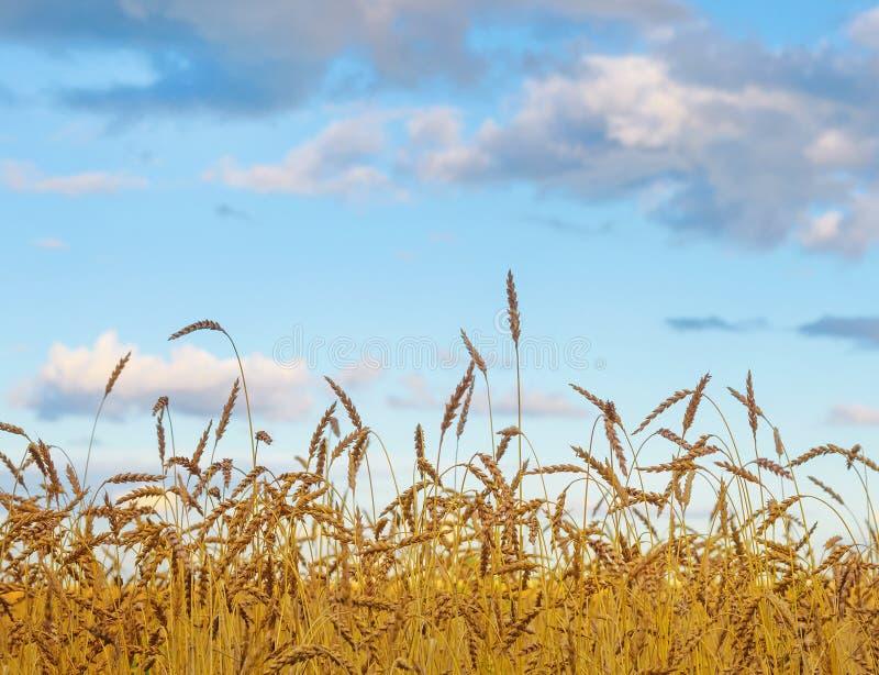 Lato Pogodna sceneria: Złocisty Pszeniczny pole z niebieskim niebem jako natura b zdjęcia royalty free