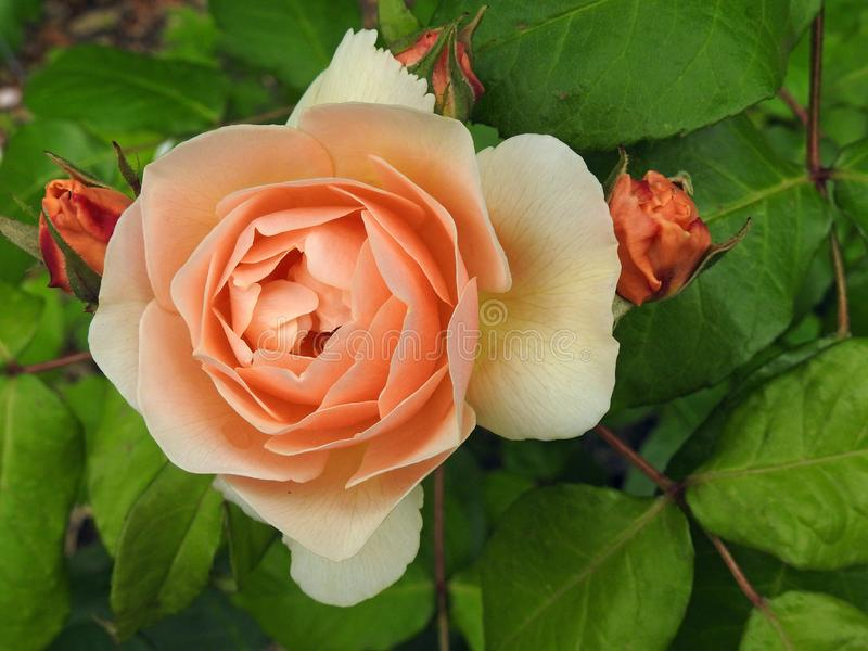 Lato pomarańcze pojedynczej peoni kwiatu głowy różani makro- płatki fotografia stock