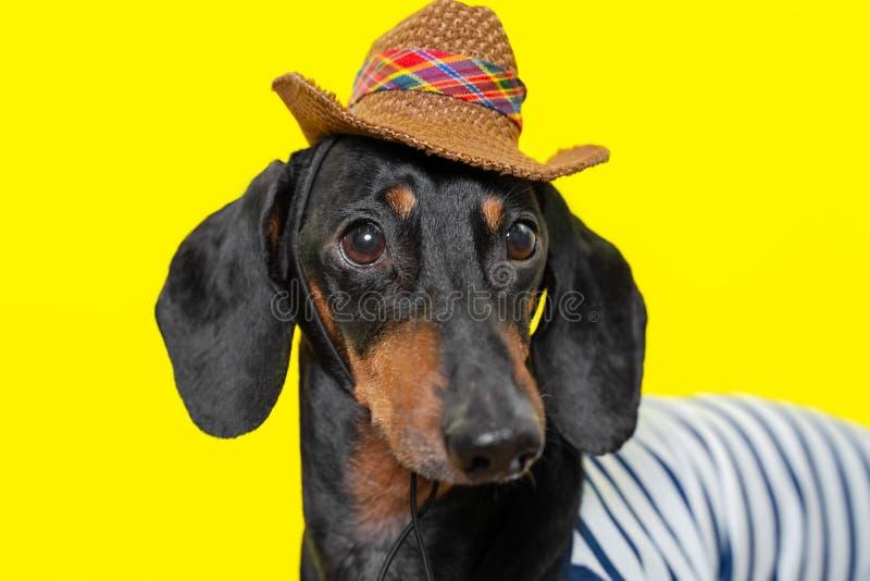 Lato portret uroczy trakenu pies, czarny i dębny, będący ubranym koszulkę i kowbojskiego kapelusz na kolorowym żółtym tle, obraz stock