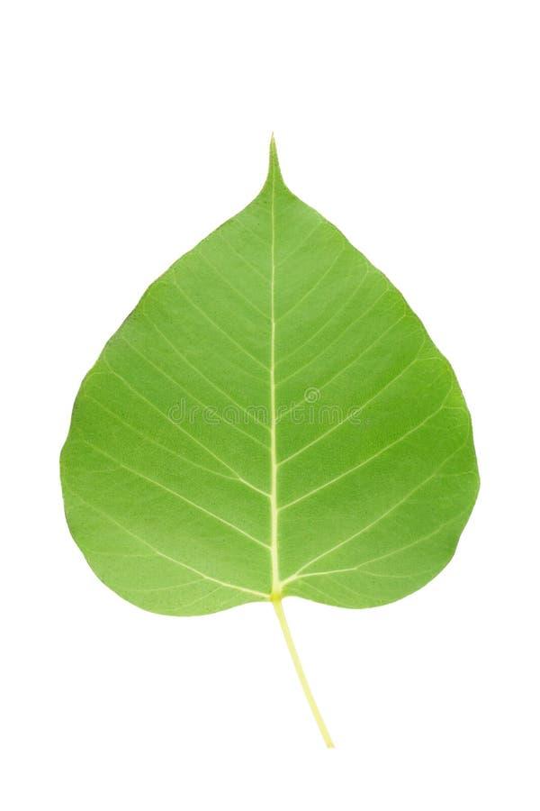 Lato posteriore della foglia verde di bodhi su fondo bianco fotografia stock