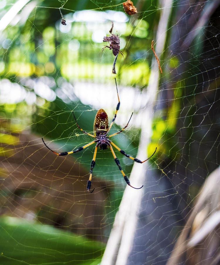 Lato posteriore di un ragno dorato sul web fotografia stock libera da diritti