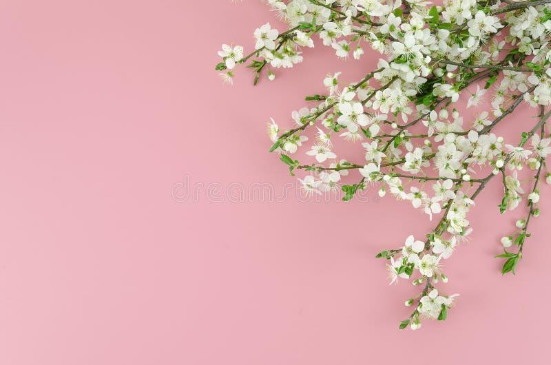 Lato przychodzi różowego tła pojęcie z białymi okwitnięcie gałąź przy kątem Odgórny widok z kopii przestrzenią przy obraz royalty free