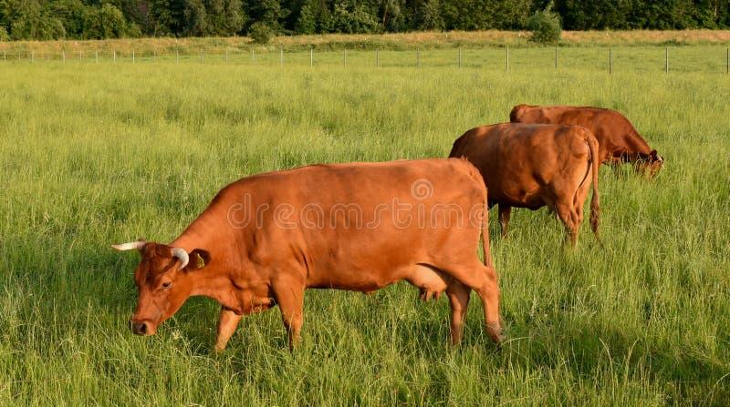 Lato r?wno Czerwona krowa je trawy na zielonym polu obraz royalty free