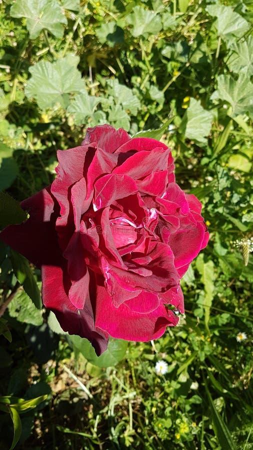 Lato rosso di Rosa e vista superiore fotografie stock