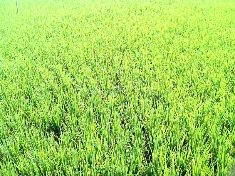 Lato ryż pole fotografia royalty free