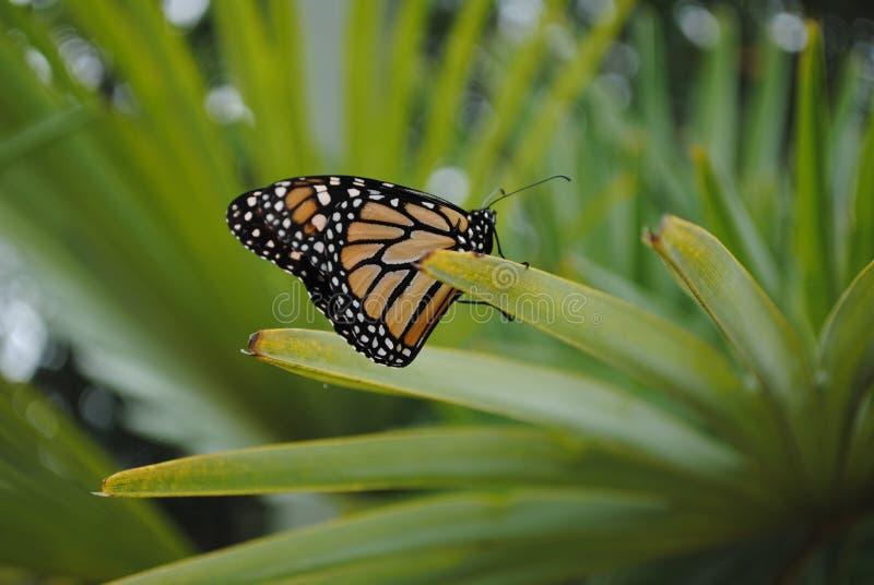 Lato Veiw della farfalla di monarca sulla pianta immagini stock libere da diritti